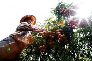 仙湖农场 吴爸爸每日当农夫採集荔枝